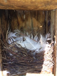 Tree Swallow nest at RCP